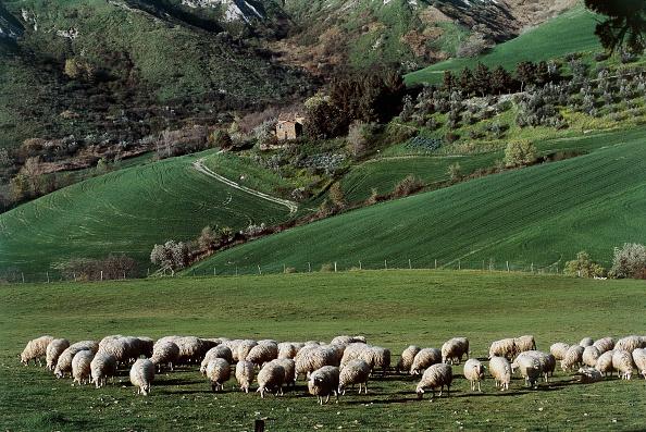sheep fertiliser fertility