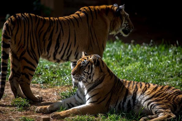tigers wildlife day