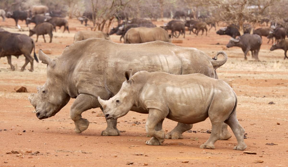 rhinos kruger national park