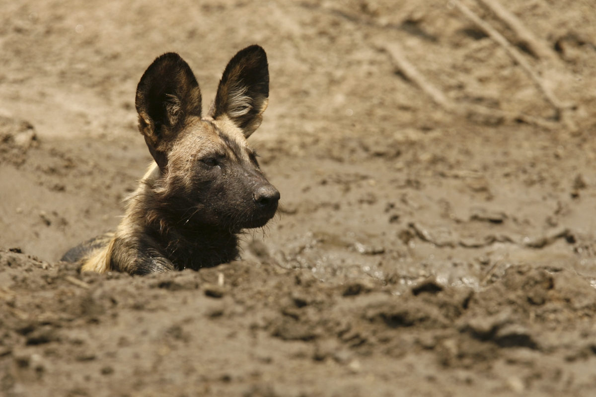 african wild dog mana pools