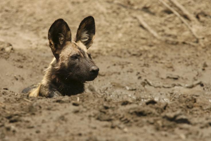 african wild dog mana pools