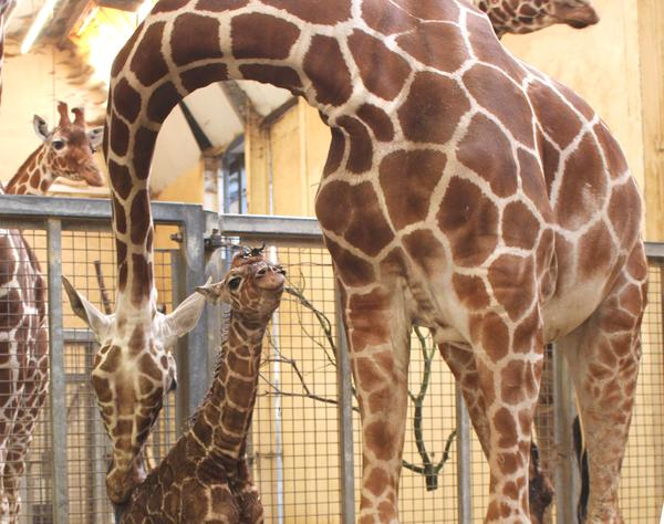 Baby giraffe born in Whipsnade Zoo