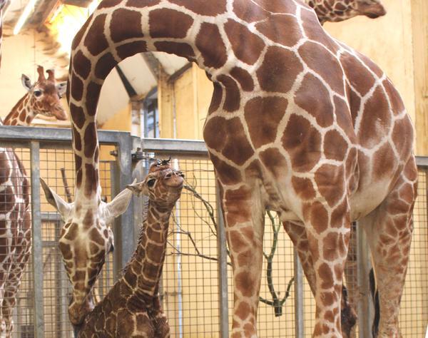 Baby giraffe born in Whipsnade Zoo