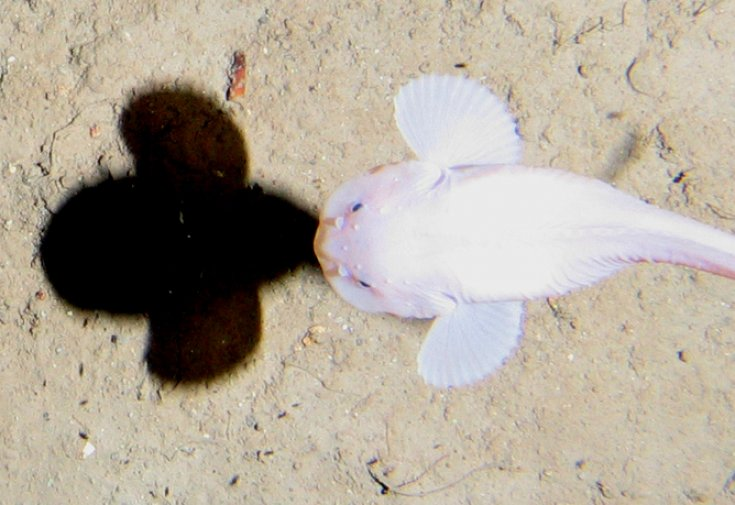 Hadal zone ten things you never knew about the oceans deepest places a snailfish swims 7400 metres below the surface alan jamieson author provided0 publicscrutiny Images