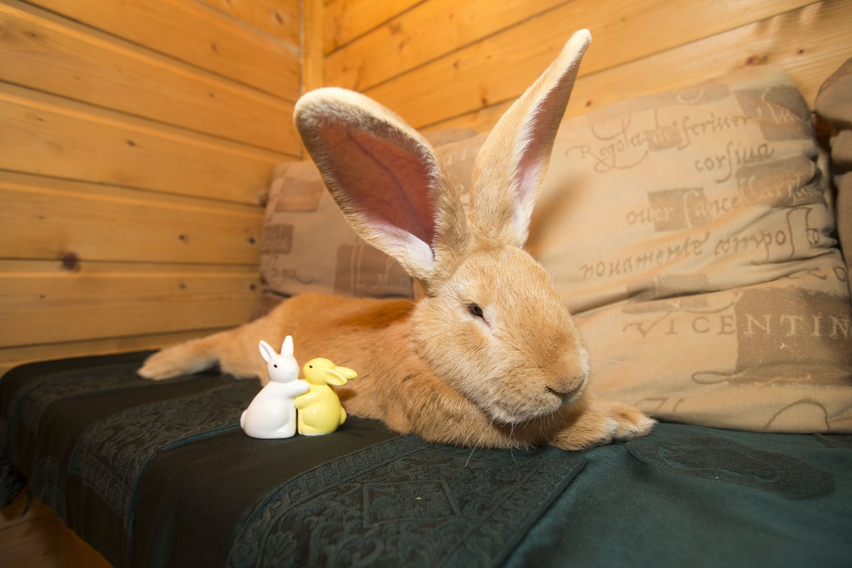 atlas the continental giant rabbit