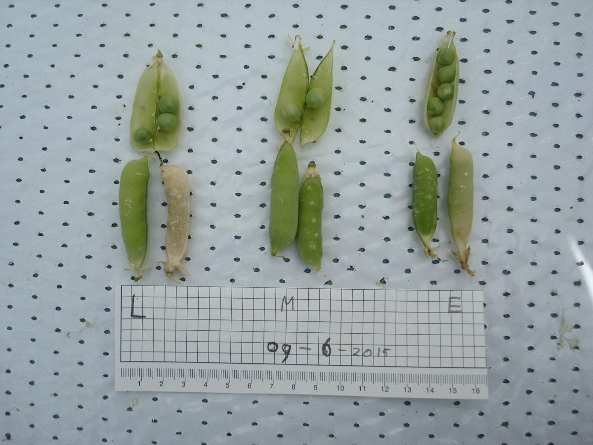 MArs peas