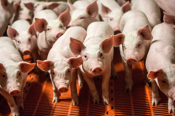 Firefighters who saved pigs from fire eat them as sausages