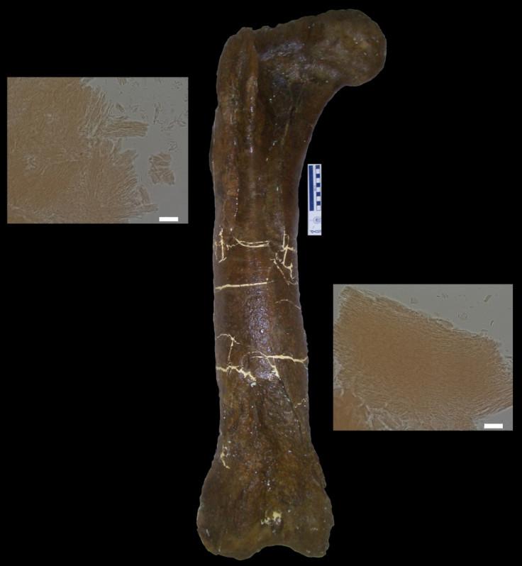 MOR 1125 t-rex