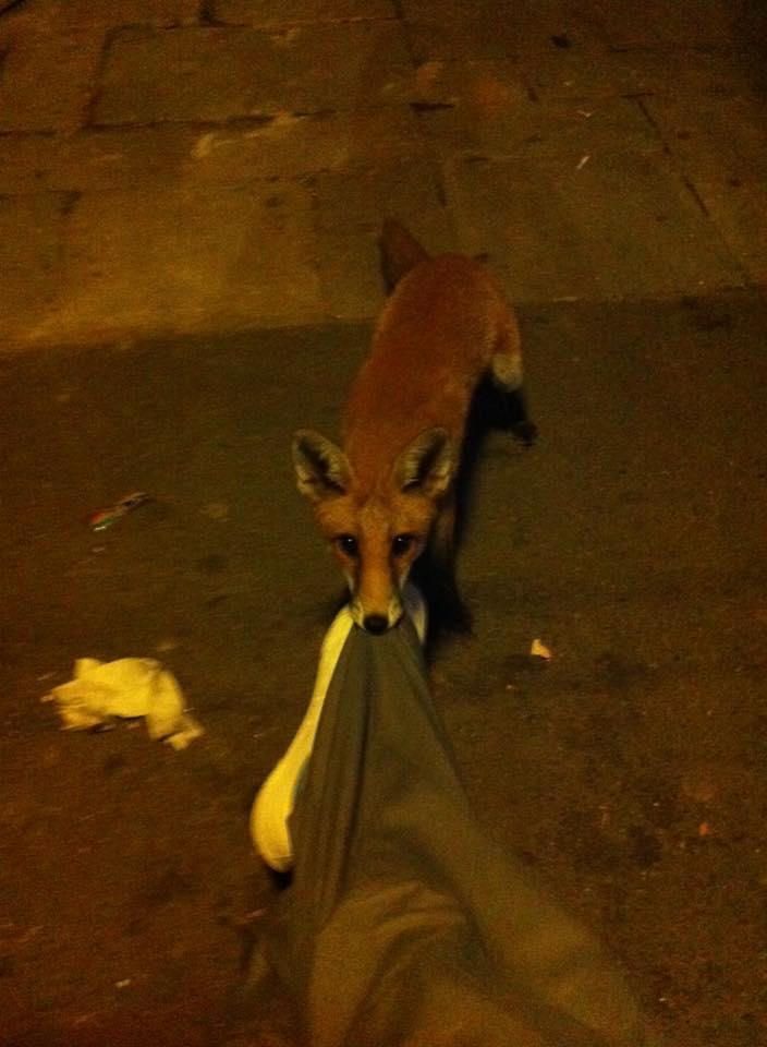 fox pulls man's trousers