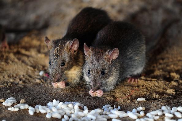 rats depression