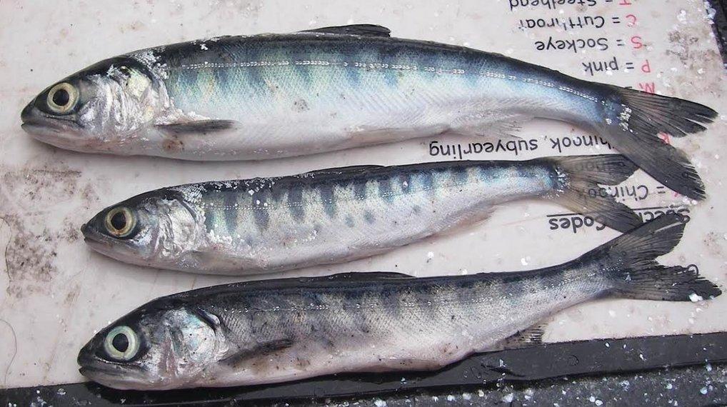 global warming salmon
