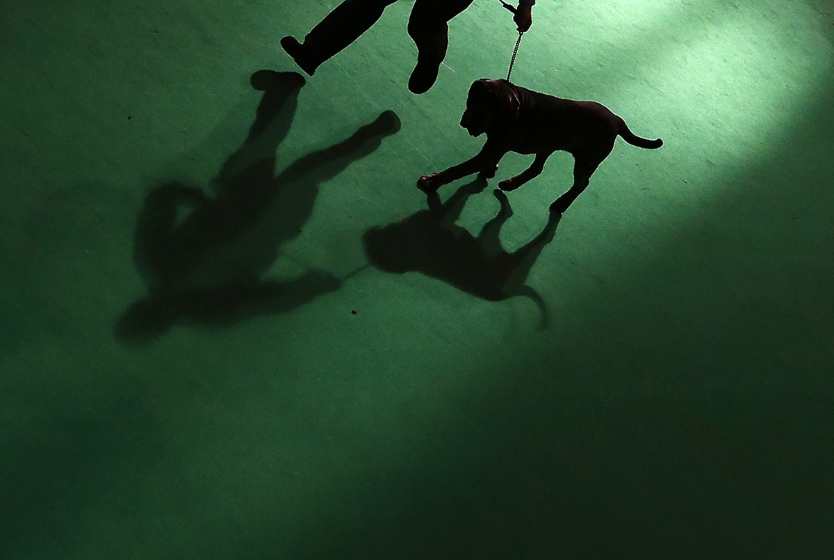 A Mastiff is shown to the judge during the second day of the Crufts Dog Show in Birmingham