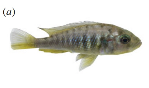hyrbid self-fertilising cichlid