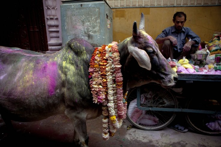 Cow on Holi in India