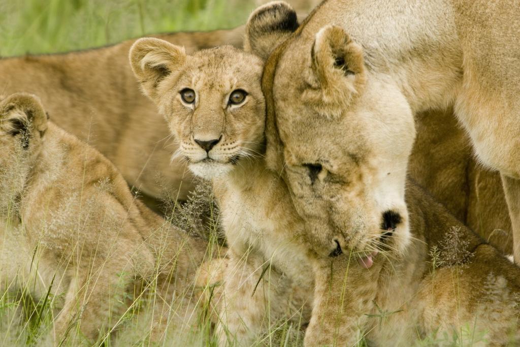 lion cub mother serengeti