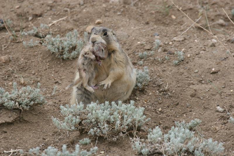 prairie dogs kill baby ground squirrels