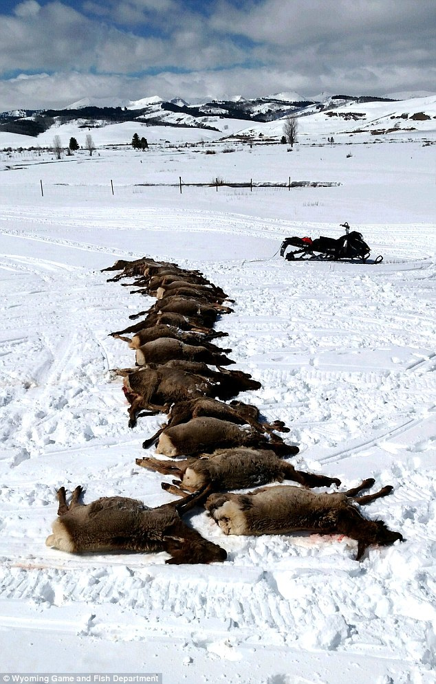 Wolf pack kills 19 elk in one night during ferocious for Game and fish wy