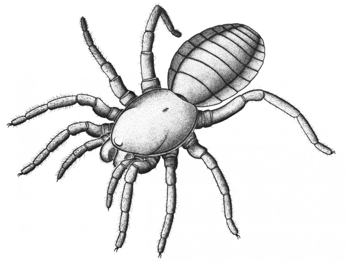 305-million-year-old arachnid sheds light on spider evolution