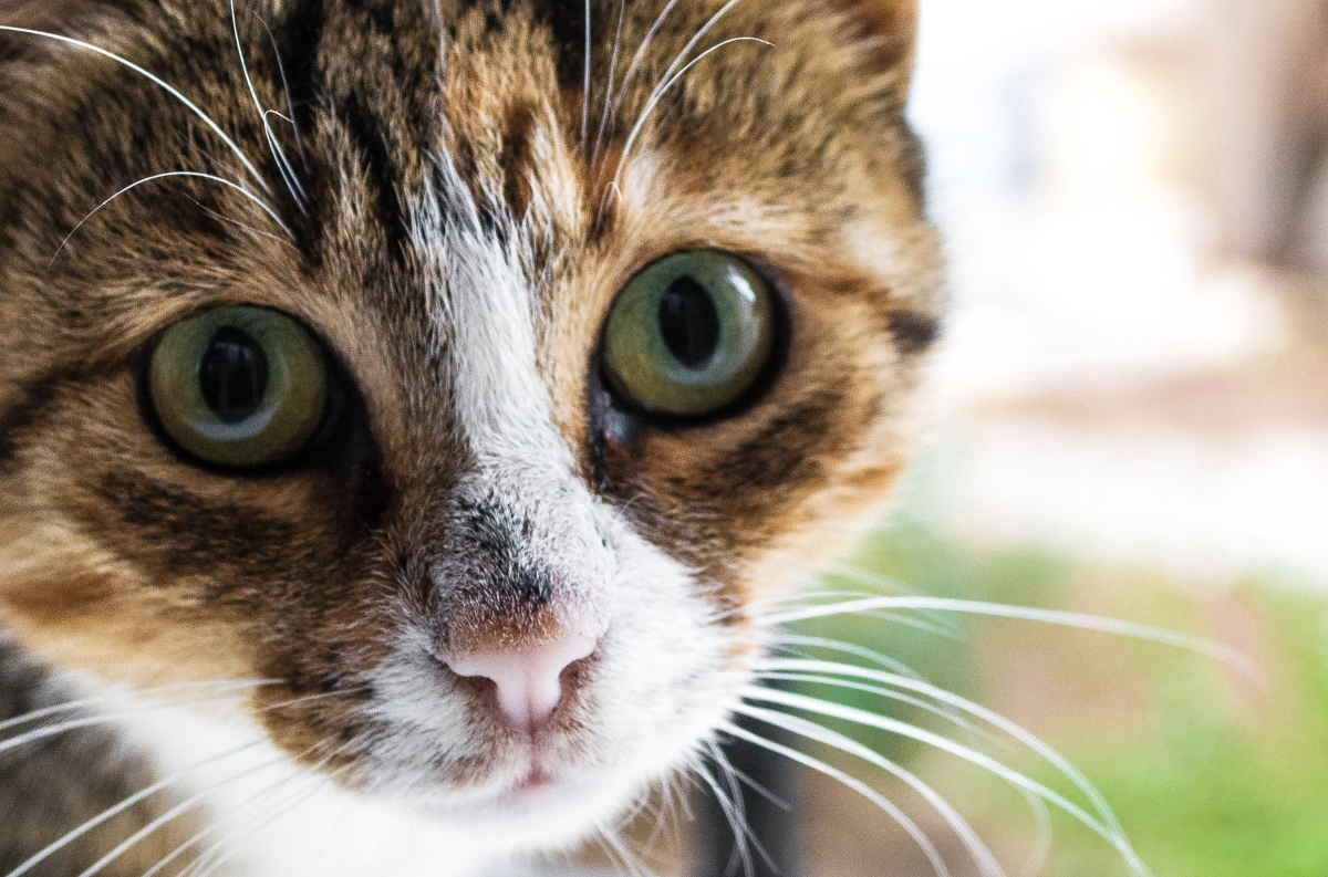 Do cats meow in accents? Scientists investigate mysteries of cat communication