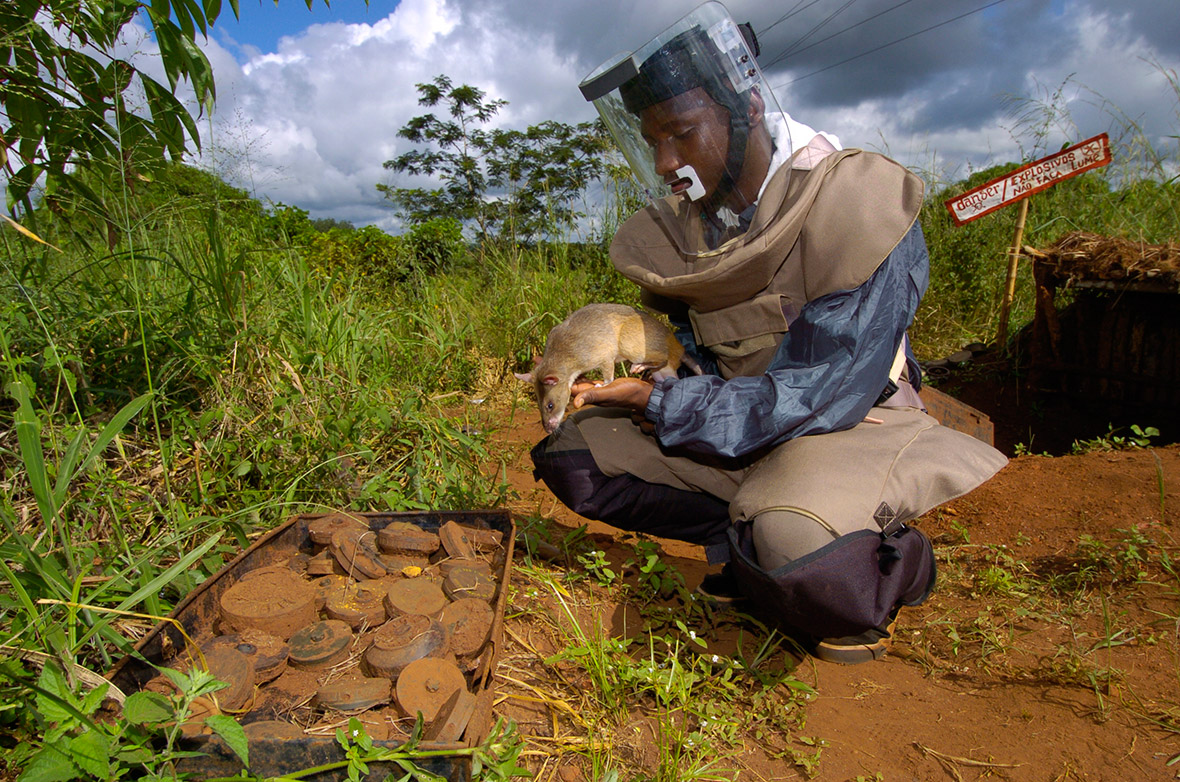 Африканская крыса-сапер, фото фотография грызуны