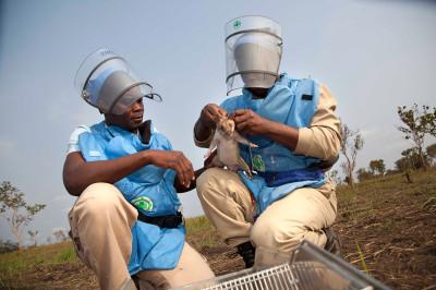 Rats sniff landmines