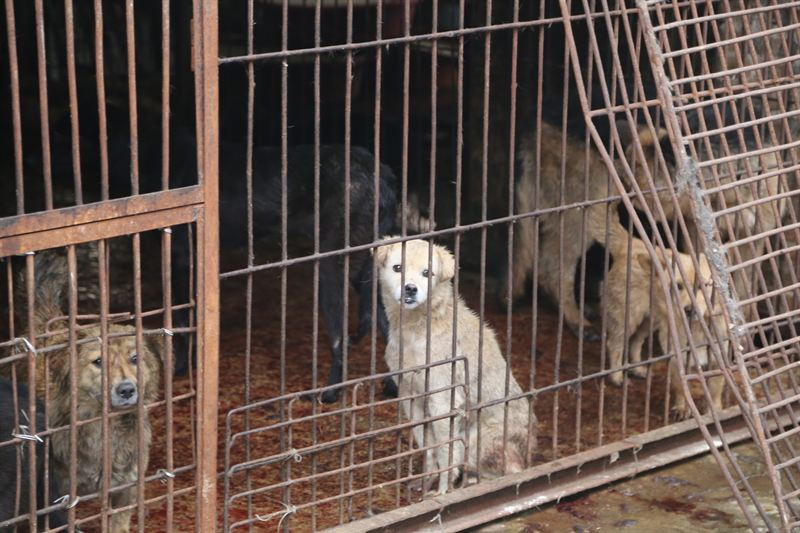 A caged dog in Yulin