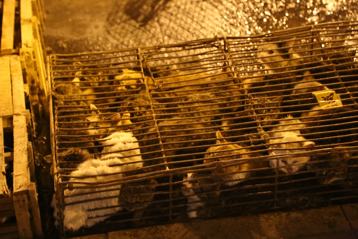 Caged cats in Yulin