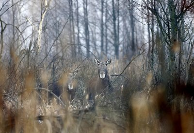 Chernobyl wildlife