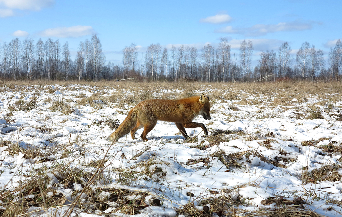 chernobyl wolves eagles and other wildlife thriving in exclusion  chernobyl wolves eagles and other wildlife thriving in exclusion zone 30 years after disaster