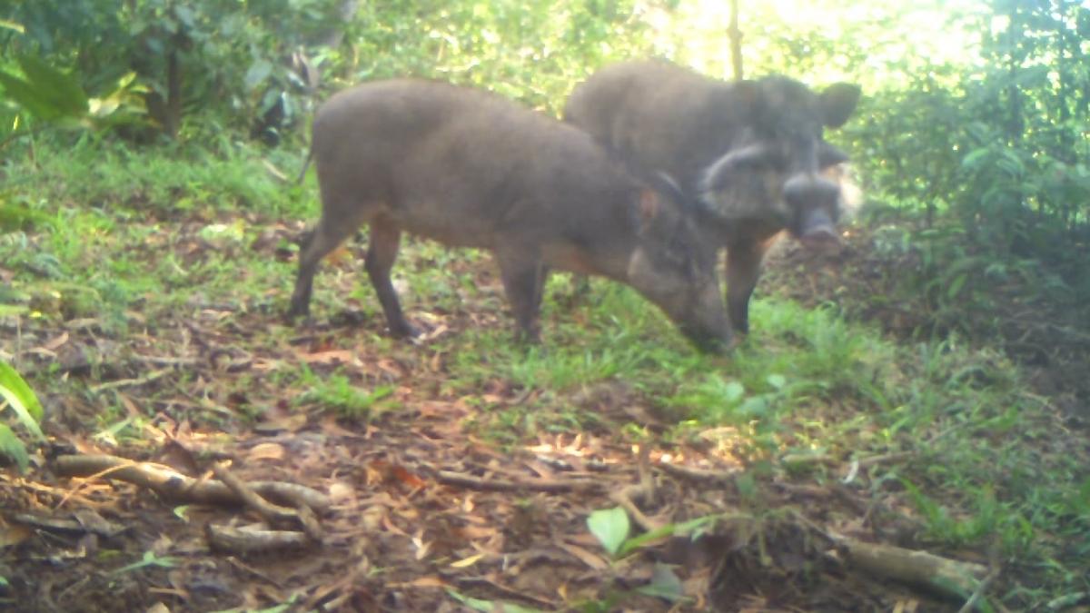 Bawean warty pigs