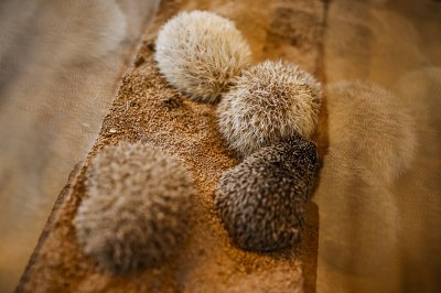 Hedgehog cafe