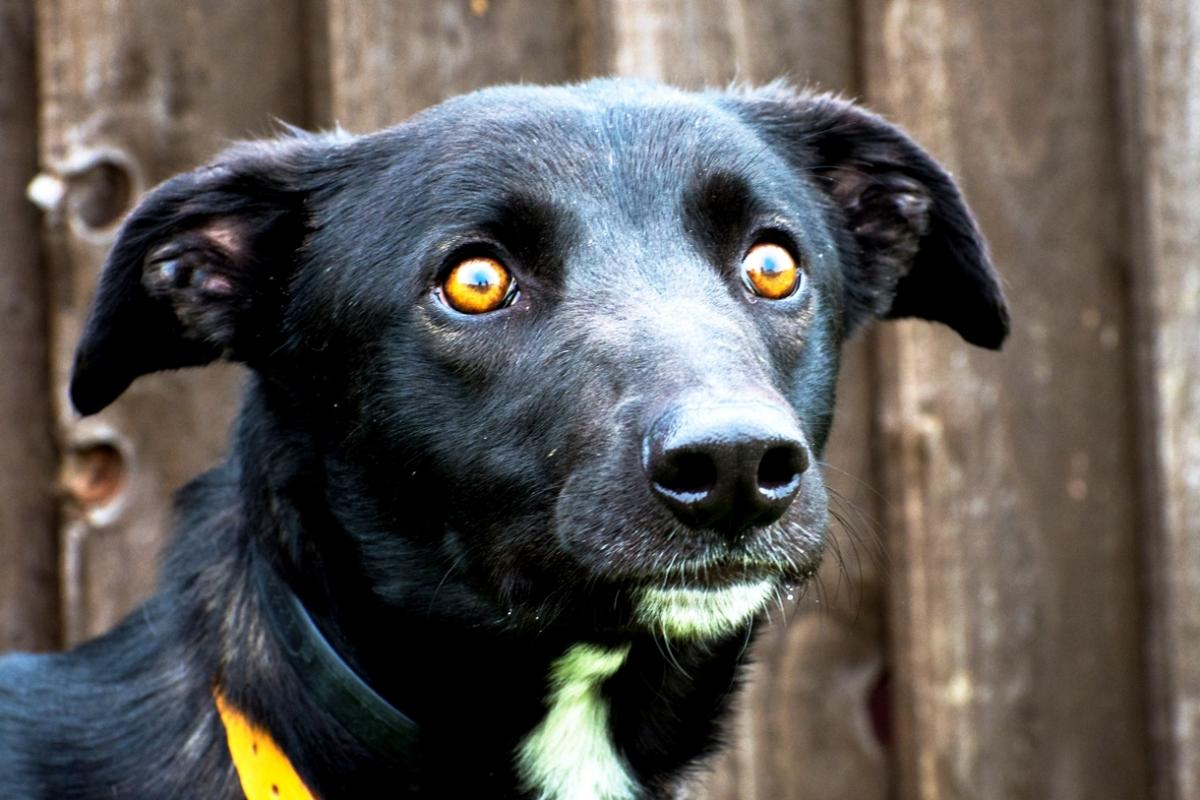 Jim, the orange eyed Lurcher