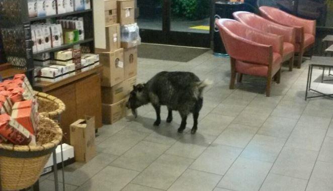 Goat in Rohnert Starbucks