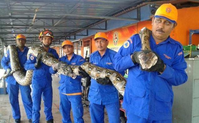 World's longest python