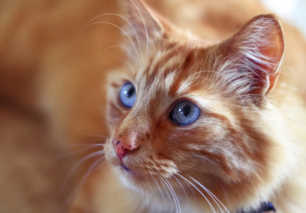 File Photo: Ginger Cat