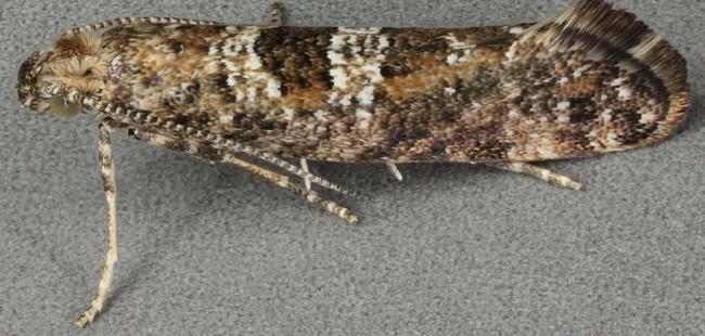 moths invade UK