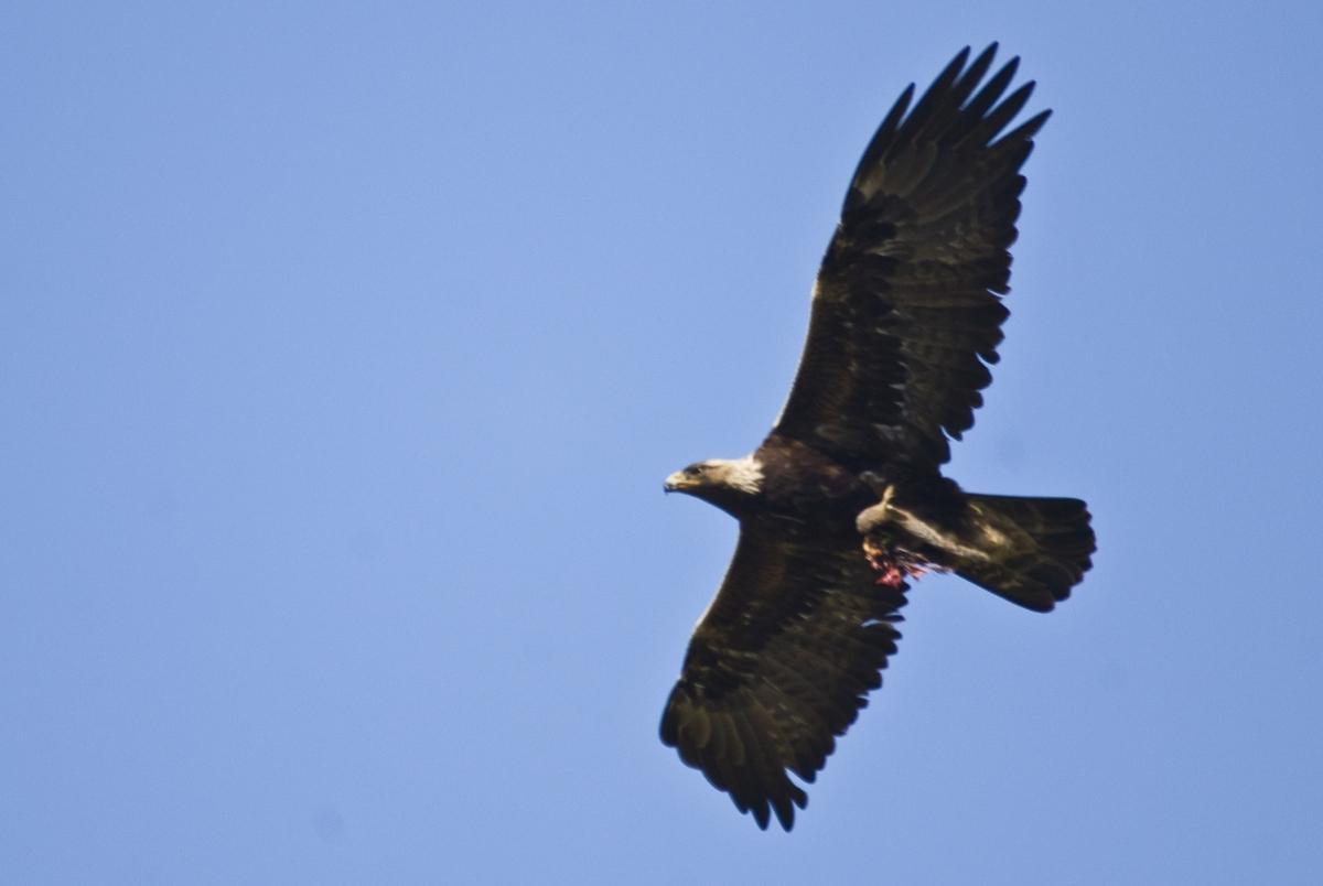 golden eagle lake district extinct 2016