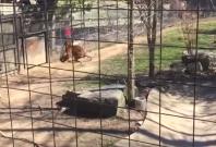 Women enters tiger enclosure