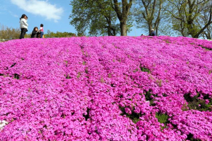 pink moon flowers