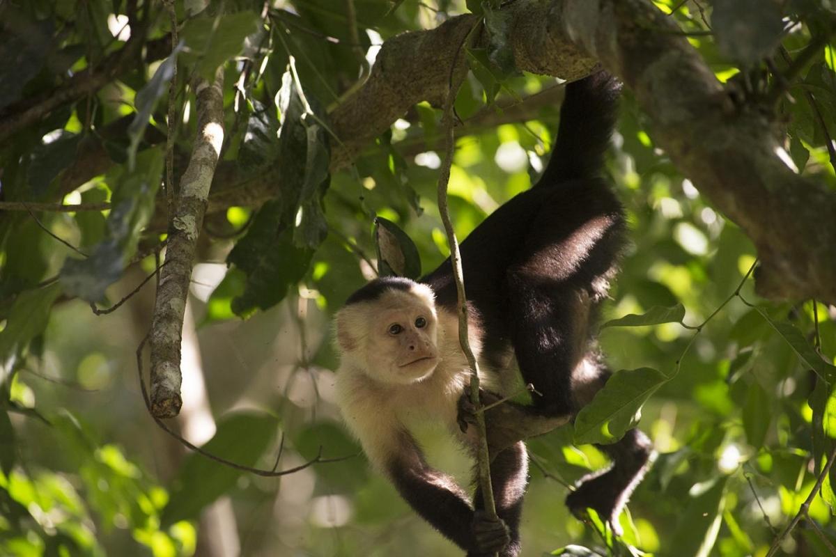 Cebus capucinu monkey