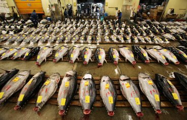 bluefin tuna auction