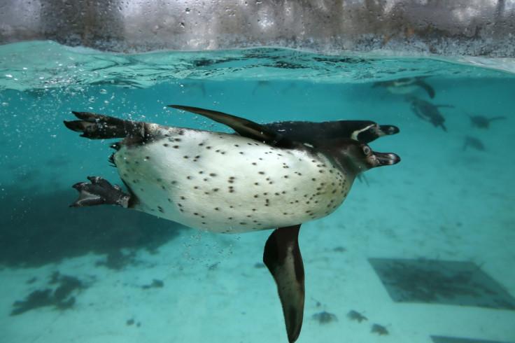 Humboldt penguins swim at London Zoo