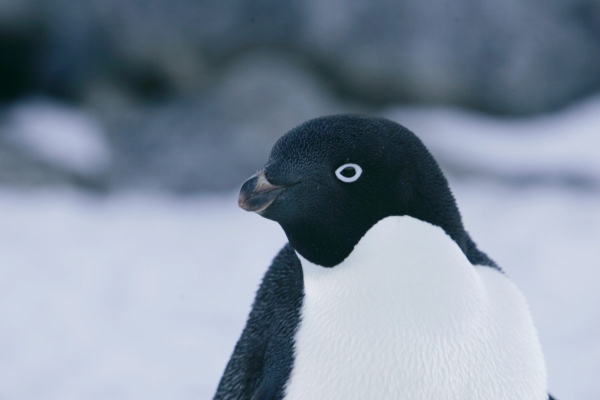 penguin day 2017 climate change endangers two most common species