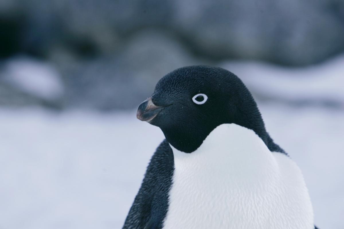 Adelie penguins in Antarctica
