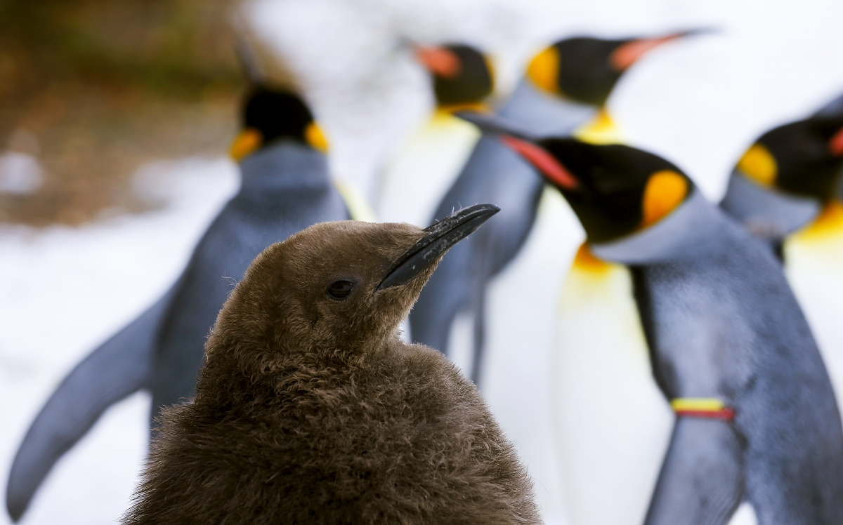 Young king penguin in Zurich Zoo