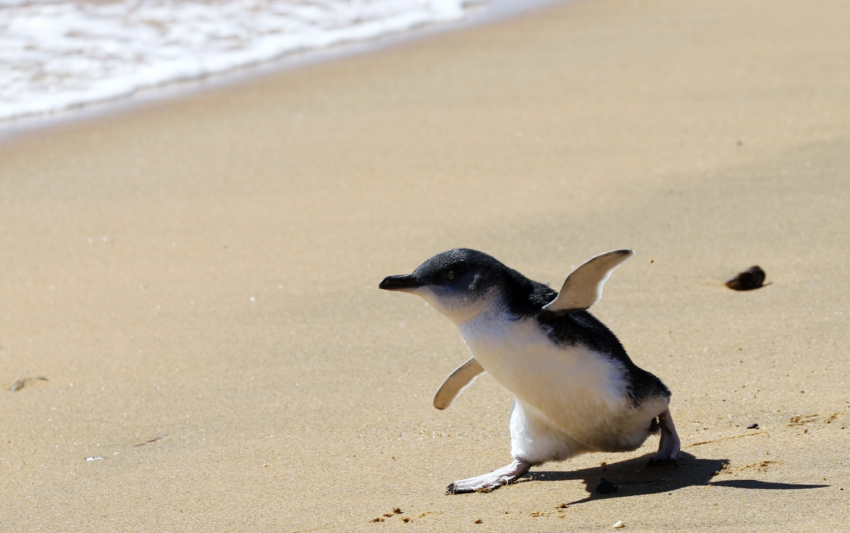 A penguin chick running on the beach