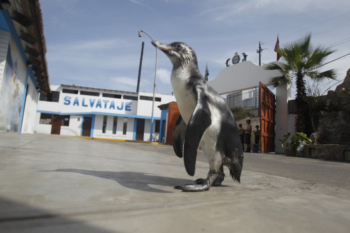 Tomas the Penguin