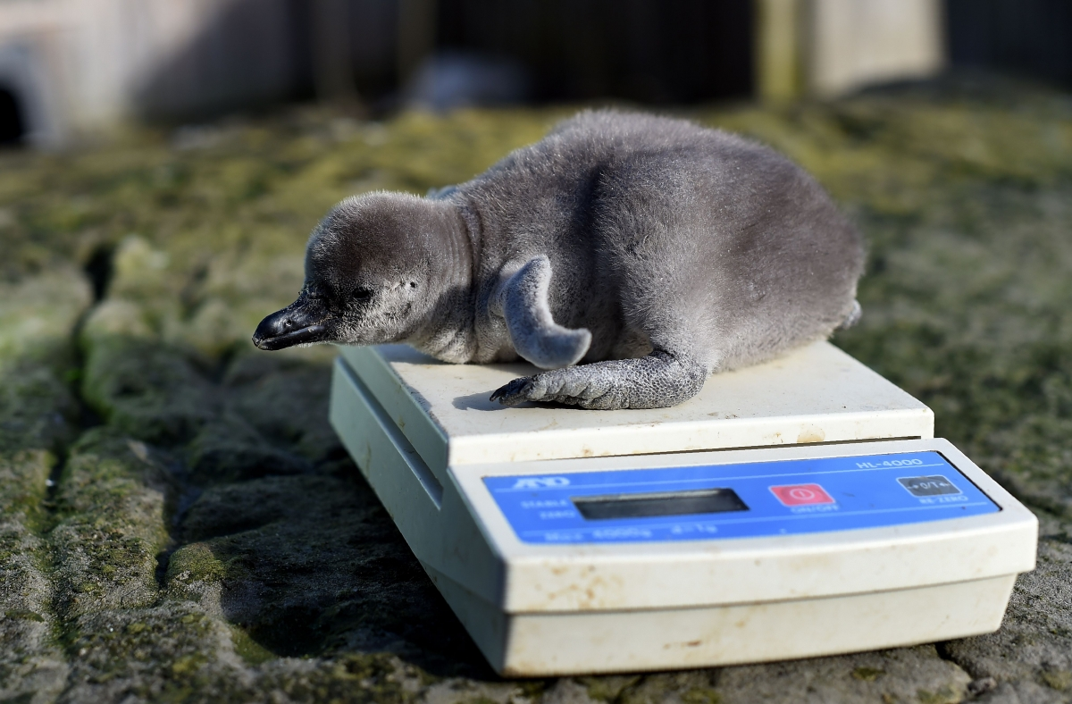 Baby humboldt penguin being weighed