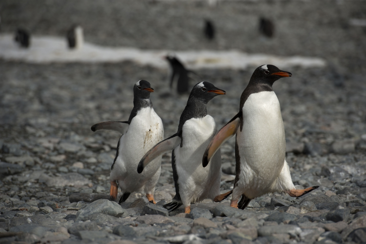 Gentoo penguins waddle over rocks in Antarctica