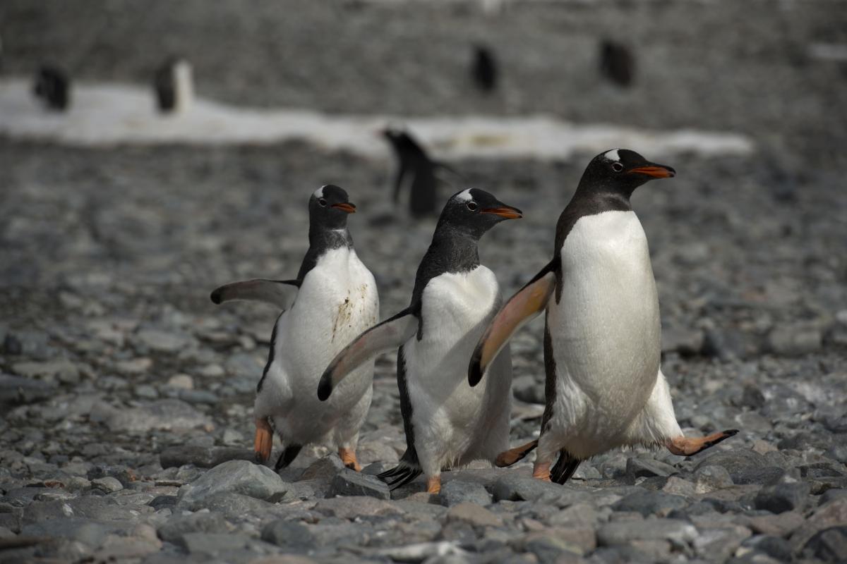 Gentoo penguins waddle over rocks in Antarctica